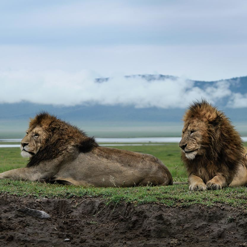 Eugene and Genius, two of four male lions in the Gene-flow coalition. Ngorongoro Crater.