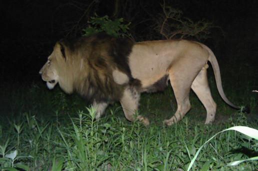 Male lion Kalamas, Ngorongoro Conservation Area