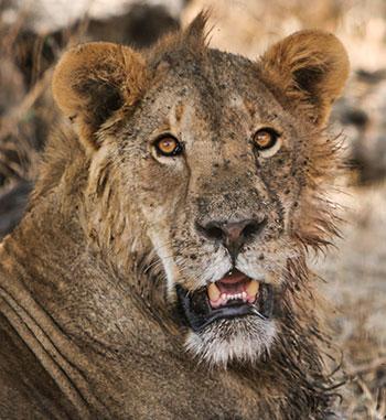 KopeLion lion Kijana