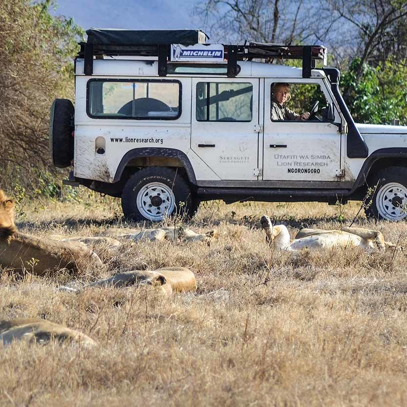 Ingela driving close to a group of resting lions, getting close in order to see the whisker spot patterns, for correctly identify them all for the long term lion monitoring.