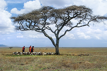 Maasai herding goats Ngorongoro