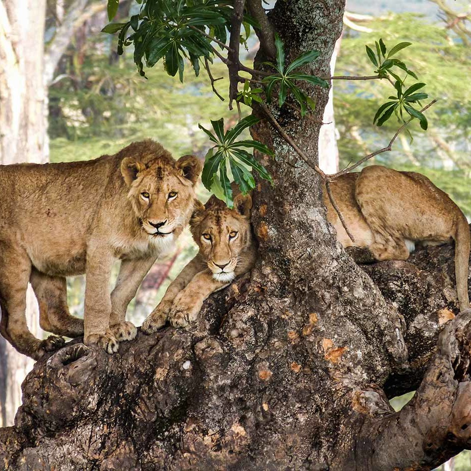 Twin lions in fig tree, Ngorongoro Crater