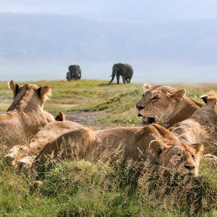KopeLion, lakes lion pride, Ngorongoro Crater