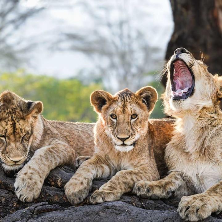 KopeLion, Lagunita's cubs of 2016 resting on a log in Elerai forest, Ngorongoro Crater.