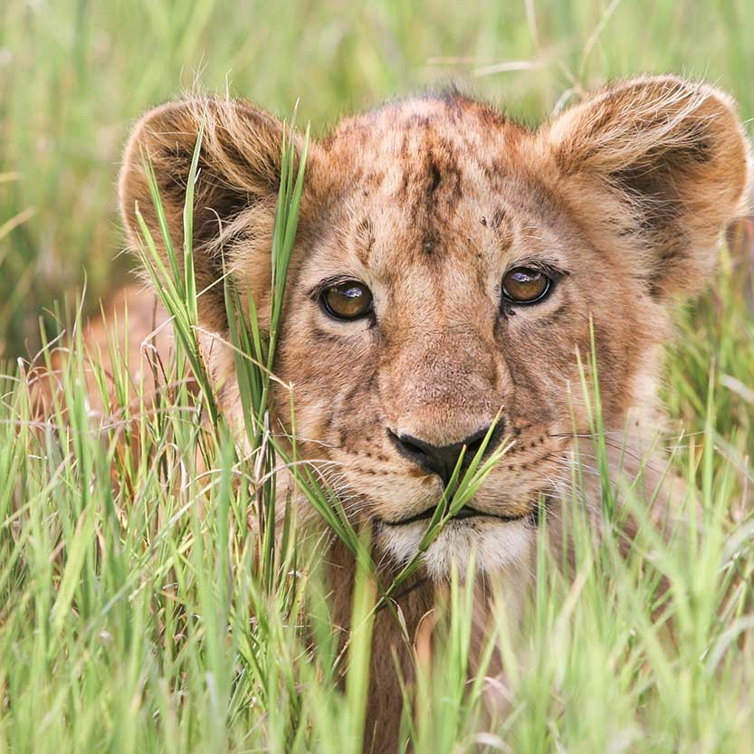 KopeLion, young male lion, Ngorongoro Crater