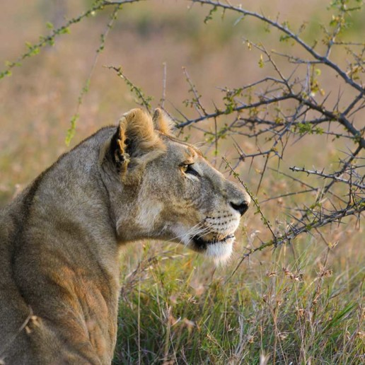 KopeLion, an adult lion female, Serengeti Nationalpark