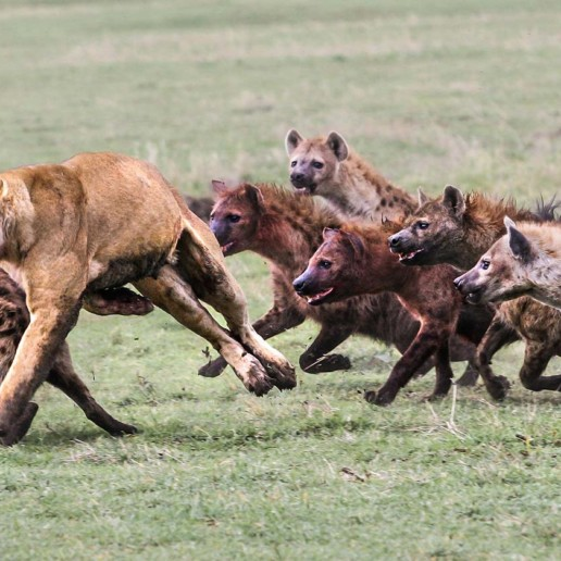 KopeLion, Hyenas chase a lioness, Ngorongoro Crater.