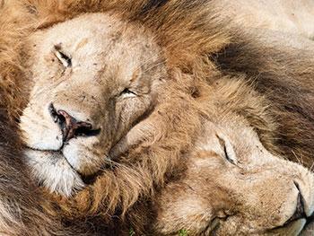 KopeLion lion males cuddling