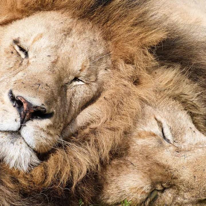 KopeLion, lion brothers in Ngorongoro Crater.