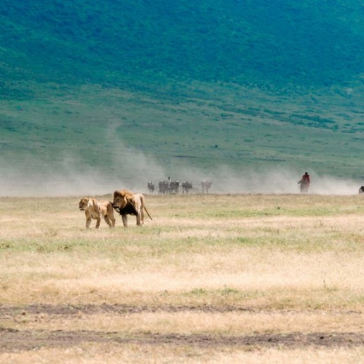 Well fed lions inside the Ngorongoro Crater are no threat to herding Maasai