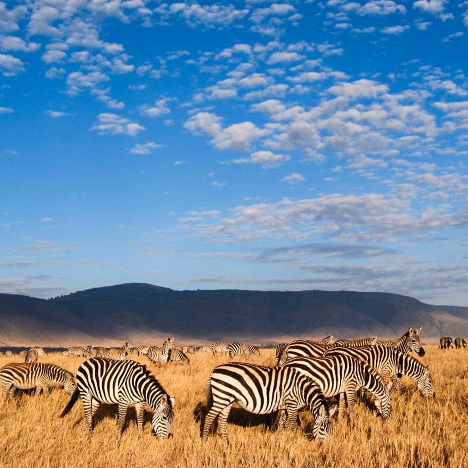 Zebras grazing in the Ngorongoro Crater