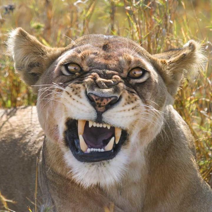 KopeLion, lioness in Serengeti NP