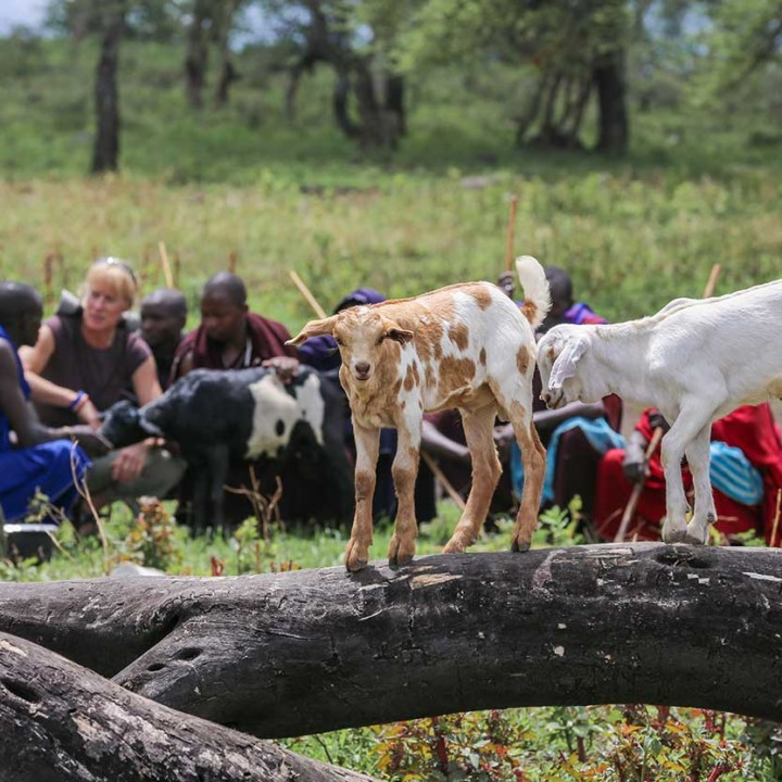 Ingela and lion scout Moloimet with other herders in Esere, discussing the latest event when a striped hyena ripped into livestock enclosure (boma) and attacked goats.