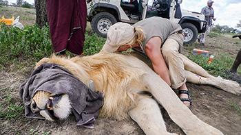 KopeLion Ingela with imobilized lion