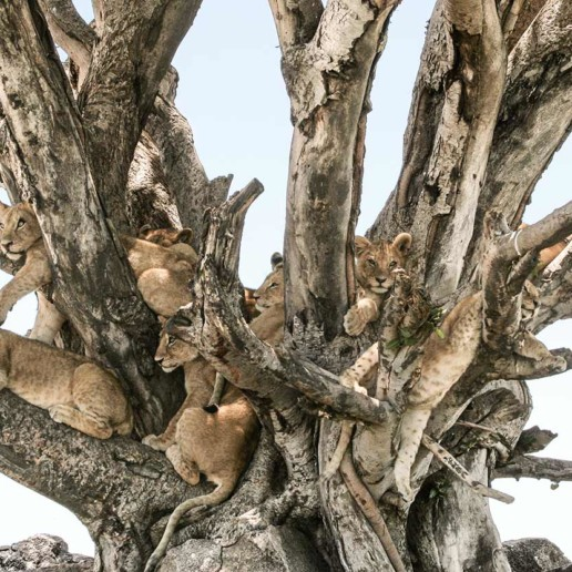 KopeLion, lion cubs in tree in Serengeti NP