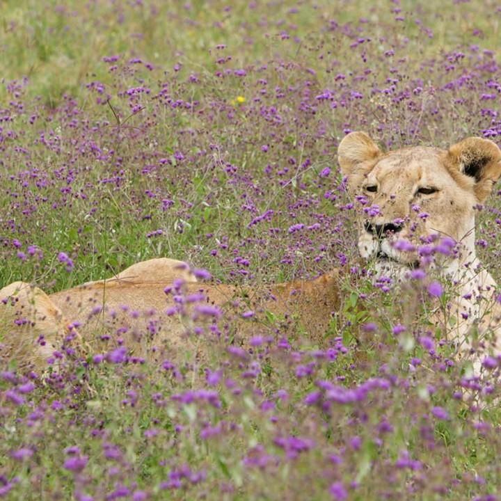 KopeLion, lioness in cordifolia gutemburgia flowers, Ngorongoro crater.