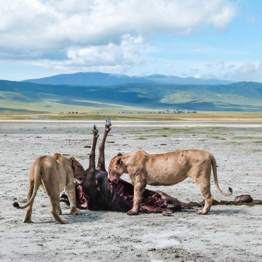 Kope Lion, Ngorongoro Crater, two lions with gnu kill.