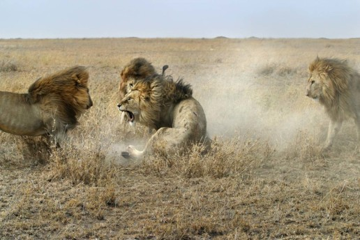 The greatest danger for male lions is other male lions.