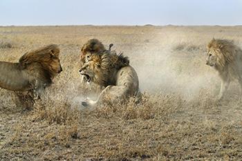 Male lion fight