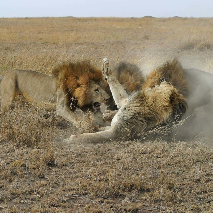 Typical male lion fight.