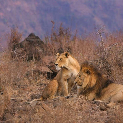 KopeLion, lions mating
