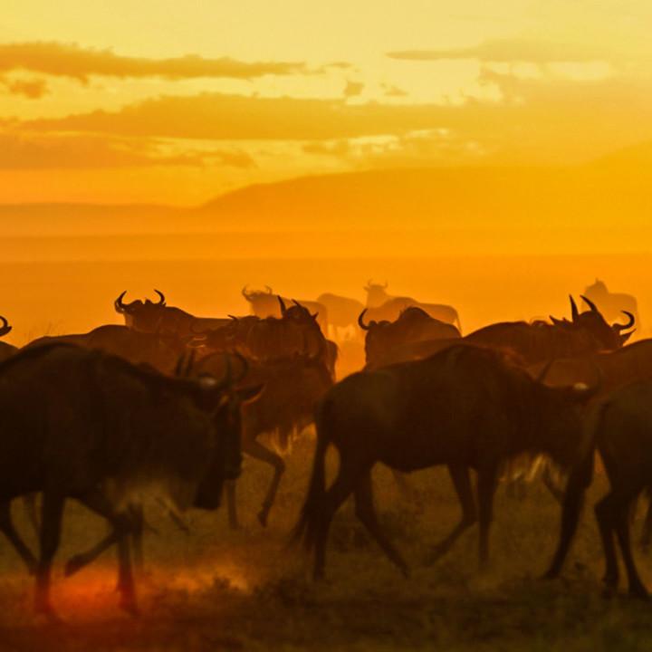 Serengeti's vast plains filled with migrating gnus. The ground vibrates.