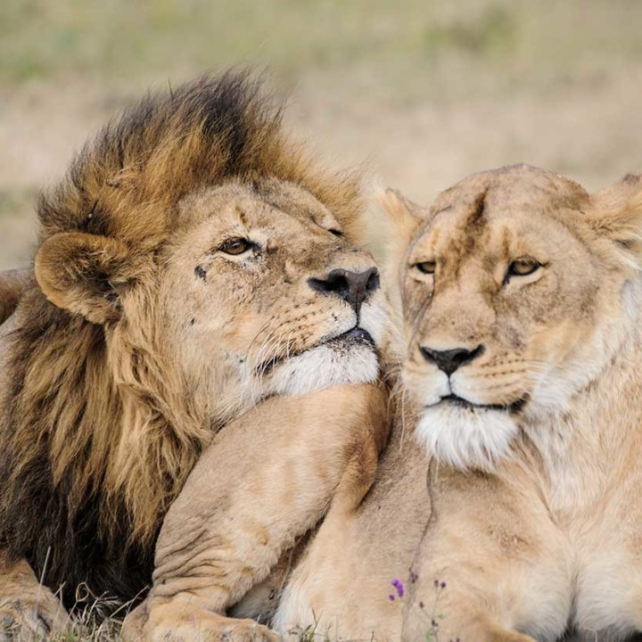KopeLion, lions mating in the Ngorongoro Crater
