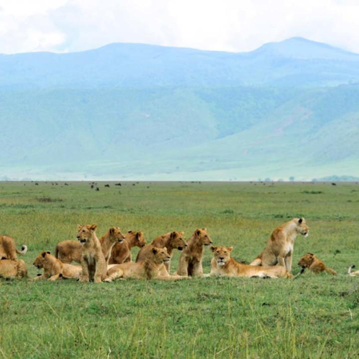 Munge pride cub boom, Ngorongoro Crater, may 2016.