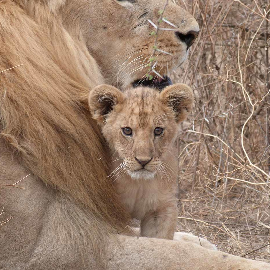 Nayomis cub Nanook with male Puyol, Ndutu.