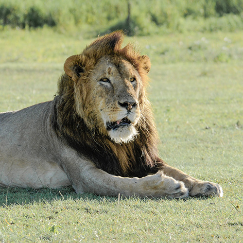 Male lion Kijana in Ngorongoro Conservation Area