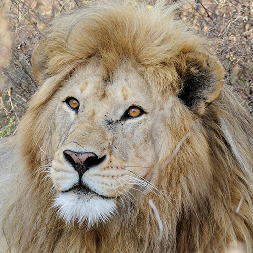 Male lion Kimani