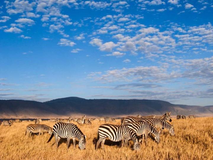 Zebras in Ngorongoro Conservation Area