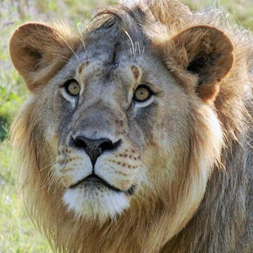 Male lion Museum, Ngorongoro Conservation Area