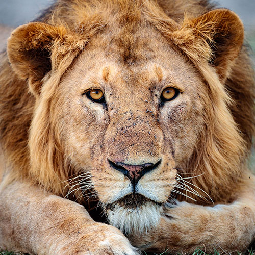 Ngorongoro Lions Conservation. We employ former Lion Hunters.